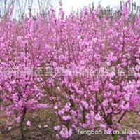 专供榆叶梅/陕西榆叶梅苗木/ 红花榆叶梅/西北榆叶梅繁育基地。