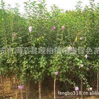 出售【独杆木槿3公分】西部绿亚苗圃苗木繁殖基地