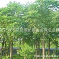 供应绿化乔木栾树.