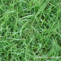 供应早熟禾草坪草皮