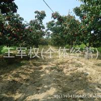 5-15公分山楂树