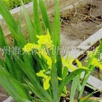 【水生植物】专供黄菖蒲