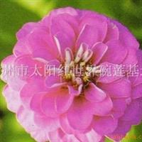草花/ 专供
