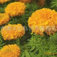 专供万寿菊/草花专供