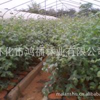 大量供应i湖南怀化耐寒邓恩桉营养钵绿化苗