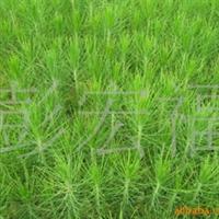 供应优质湖南怀化国外松树营养袋苗