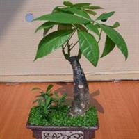 聚宝盆发财树小森林盆栽植物11元(图)