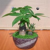 年宵花卉发财树小森林植物盆栽(图)