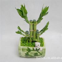 供应熊猫富贵竹小森林植物10元(图)