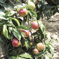 山西桃树  山毛桃 山楂树 苹果树等绿化树