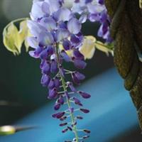 供应紫藤花树木苗