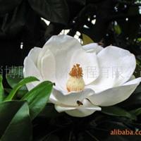 淄博胧威园林供应广玉兰苗木