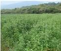 文冠果种子  文冠果种苗