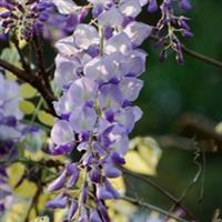 供应紫藤花木苗