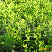 供应精品绿化苗木 大叶栀子
