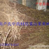 中药材种苗山茱萸结果苗 树龄6年 粗度2-5公分 高度3.5-4米