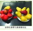 供一年多次花果集食用观赏无核双季香梨树苗