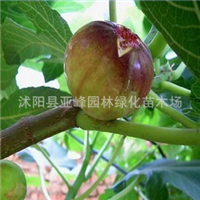 特价出售 【 红心无花果】 果叶都可保健药用的植物2年