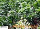 供应苗木 花卉 水生花卉--千屈菜-水葱(图)