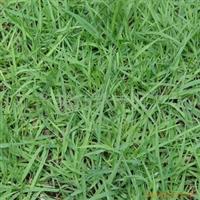 供应日本结缕草草籽-中华结缕草种子(图)