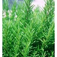 自有种植基地,供应迷迭香鲜枝条