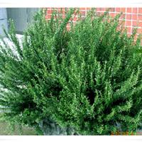 产地直供迷迭香绿化苗(美化环境,芳香空气),特别适合别墅,庭院