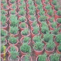 自有种植基地,长期供应迷迭香绿化苗(美化环境,芳香空气)