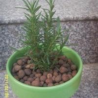 供应迷迭香盆栽-芳香空气,驱逐蚊虫