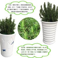 香草盆栽-迷迭香,提神醒脑,增强记忆力,驱除蚊虫