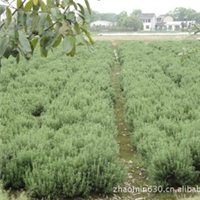 自有种植基地,长期供应迷迭香种苗/社区及公园绿化苗