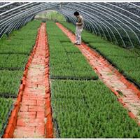 长期供应德国纯种进口迷迭香绿化苗(美化环境,芳香空气)