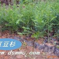 红豆杉(南方红豆杉)