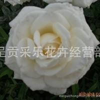 玫瑰种苗批发 基地直销  红色 白色 粉色