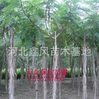火炬树河北火炬树定干移植火炬树1--12公分火炬树