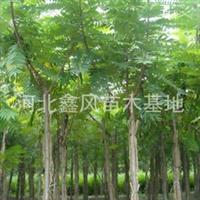 火炬树河北火炬树定干移植火炬树