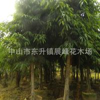 供应柳叶榕