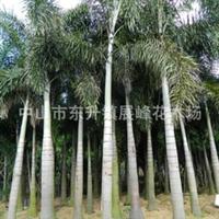 优质供应商供应绿化工程植物,苗木-孤尾椰子