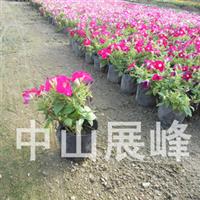 凤仙花(指甲花)  优质绿化花卉