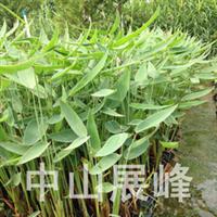 再力花(水竹芋)  优质绿化水生植物