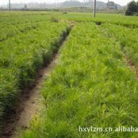 供应速生丰产用材林树种--湿地松苗