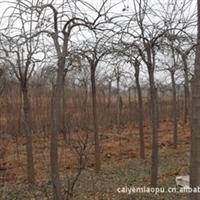 长期供应优质绿化苗木龙爪槐