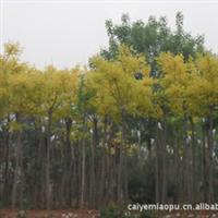 长期供应优质绿化苗木金叶槐