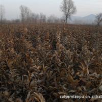 长期大量生产供应优质板栗苗