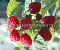 树莓苗 红宝石树莓