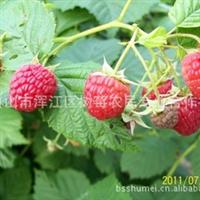 树莓苗  中林18号红树莓苗