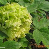 供应牡丹,芍药,牡丹种子,绿化苗,盆栽牡丹,盆栽芍药