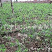 丹东【金春苗圃】供应优质红豆杉苗