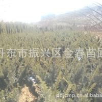 大量低价提供优质日本红豆杉扦插苗