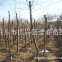 大量低价提供绿化树五角枫大树裸根截杆