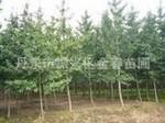 大量供应优质绿化苗木                 银杏
